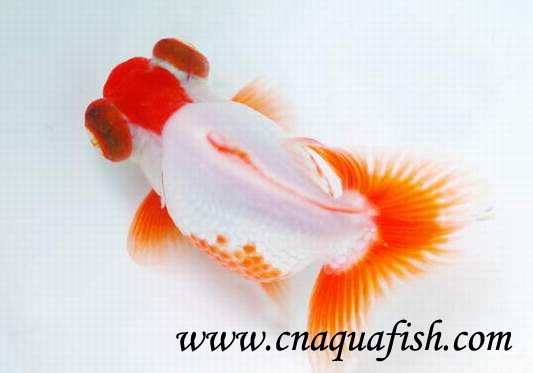 Goldfish Butterfly For Sale China Goldfish Suppliers